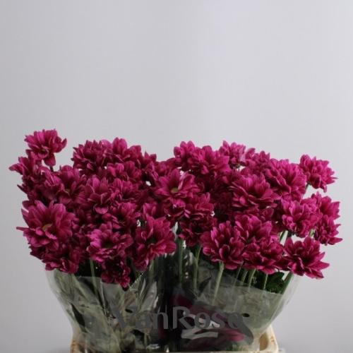 Хризантема Prada оптом