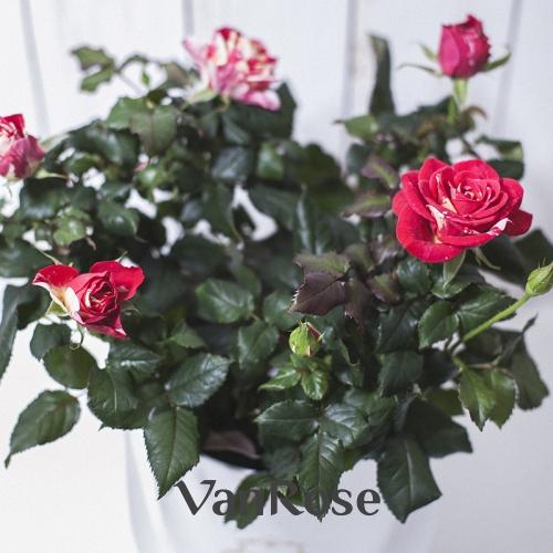 Бело-розовая комнатная роза в шляпной коробке