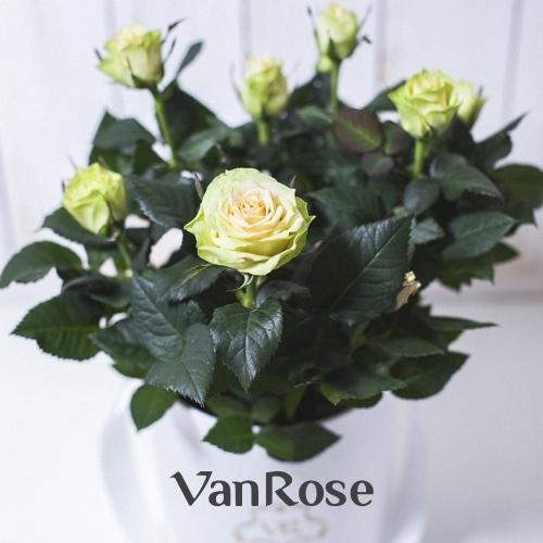 Белая комнатная роза в шляпной коробке