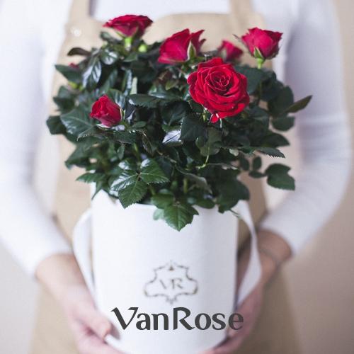 Красная комнатная роза в шляпной коробке