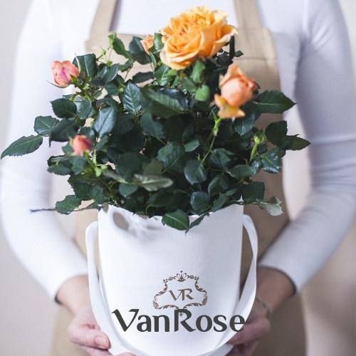 Желтая комнатная роза в шляпной коробке