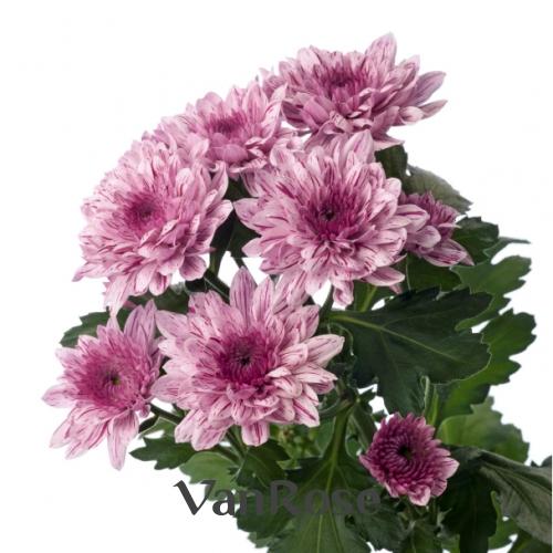 Хризантема Vip оптом