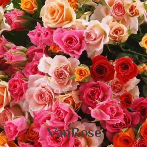 Роза кустовая микс оптом