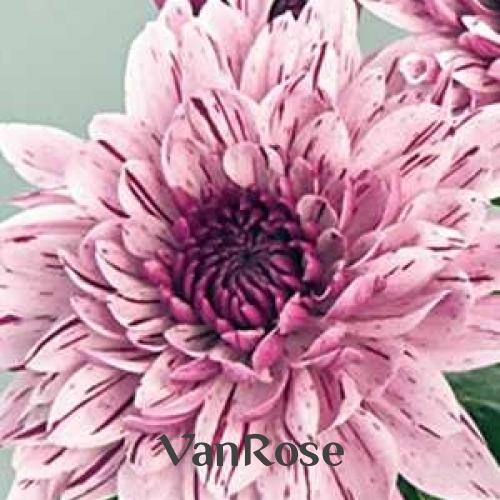 Хризантема Pip оптом