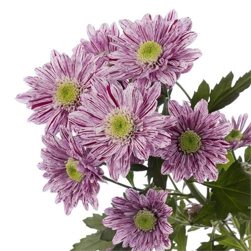 Хризантема Serenity оптом