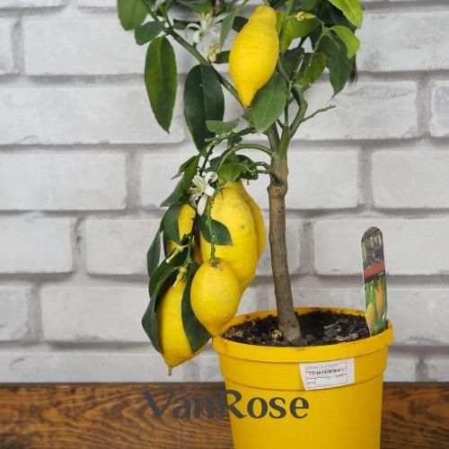 Лимон д-15