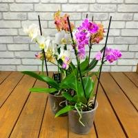 Фаленопсис многоцветковый Микс d-12