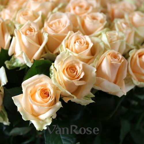 51 роза Пич Аваланш