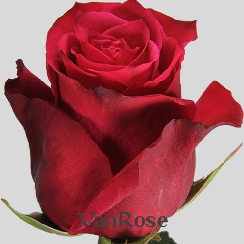Роза Explorer оптом