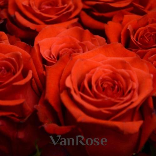 Роза Nina оптом