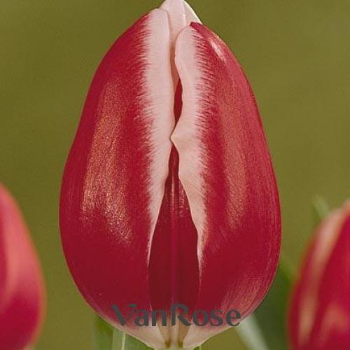 Тюльпан Furand оптом