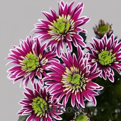 Хризантема Saba оптом