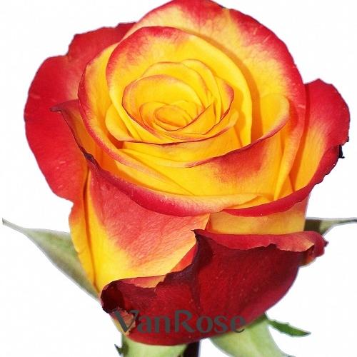 Роза High Magic оптом