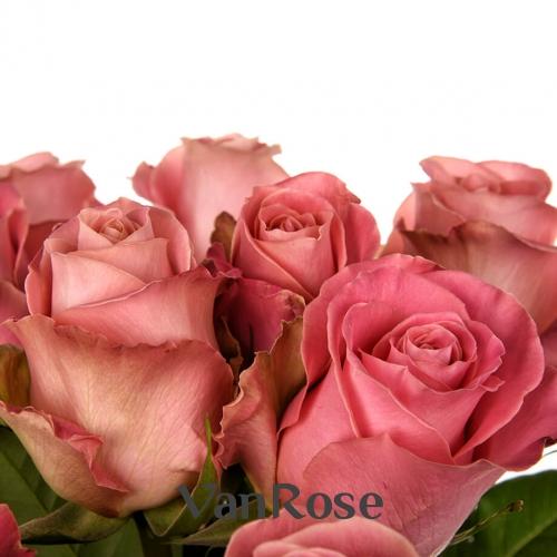 Роза Hermosa оптом