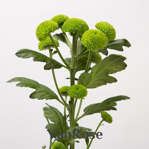 Хризантема Feelin Green Dark оптом