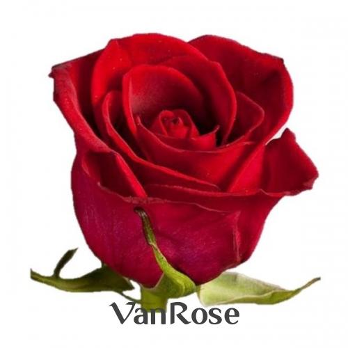 49 роз Фридом