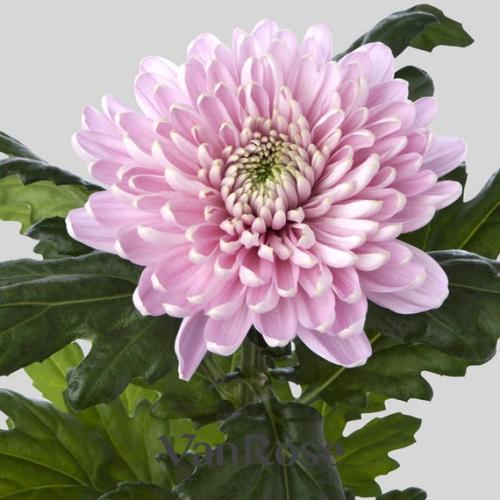 Хризантема Rossano Pink оптом