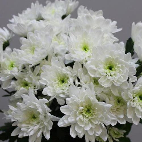 Хризантема Балтика оптом