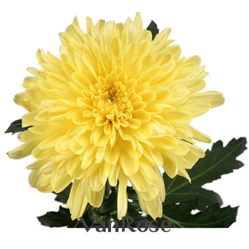 Хризантема Zembla Yellow оптом