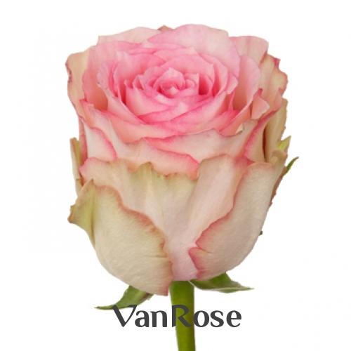 Роза Esperance оптом