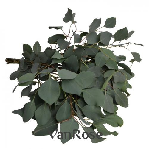 Эвкалипт Populus оптом