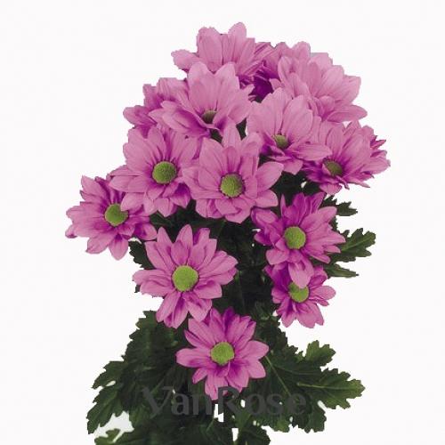 Хризантема Grand Pink оптом
