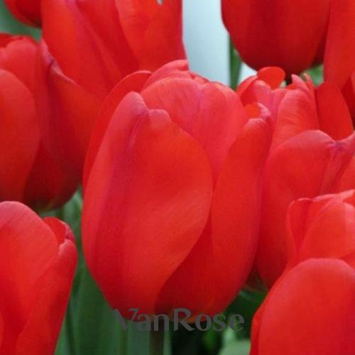 Тюльпаны Lalibella оптом