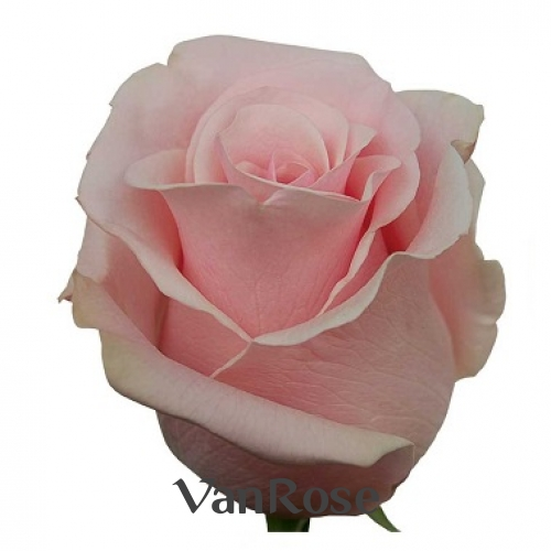 Роза Pink Mondial оптом