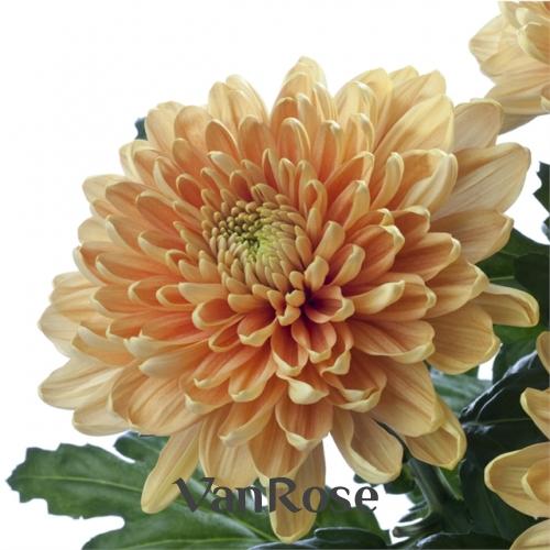 Хризантема Rossano Orange оптом