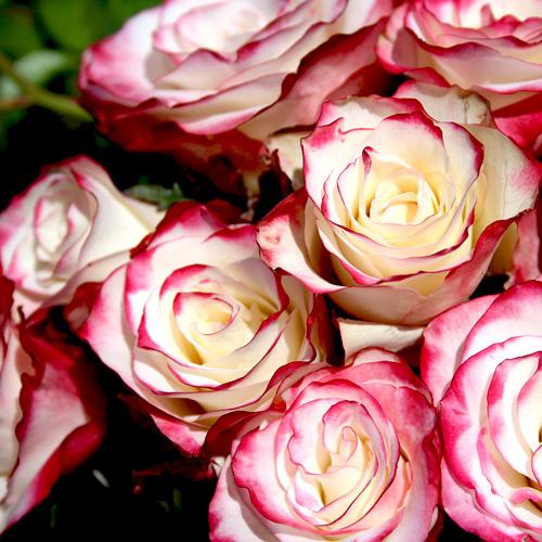 Роза Switness оптом