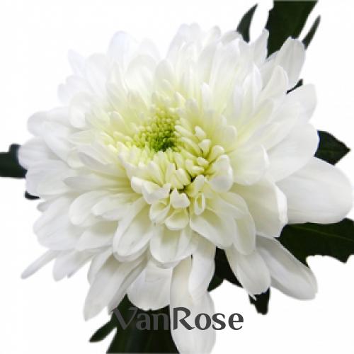 Хризантема Zembla White оптом